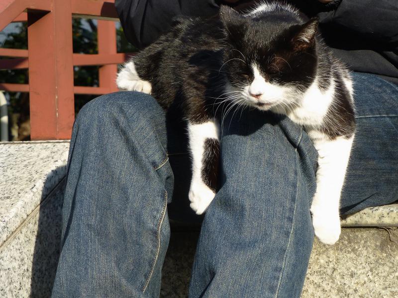 膝に乗って垂れている黒白猫3