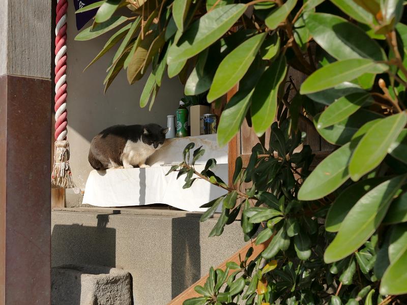 祭壇で休憩してるグレー白猫1