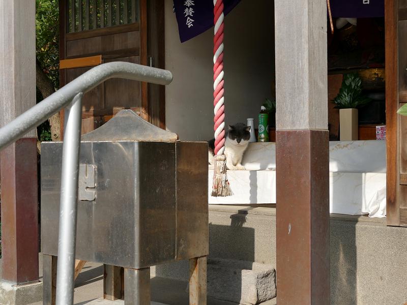 祭壇で休憩してるグレー白猫2