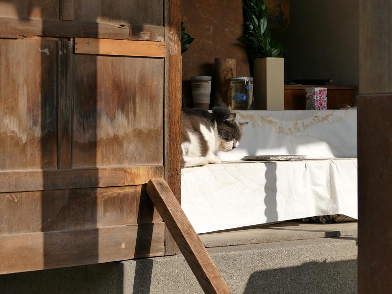 祭壇で休憩してるグレー白猫3