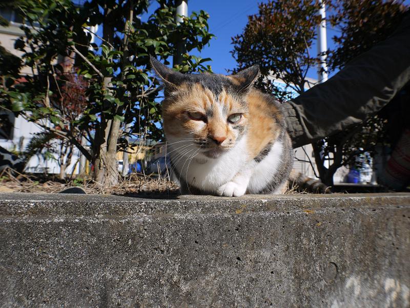 腰を触られる三毛猫1