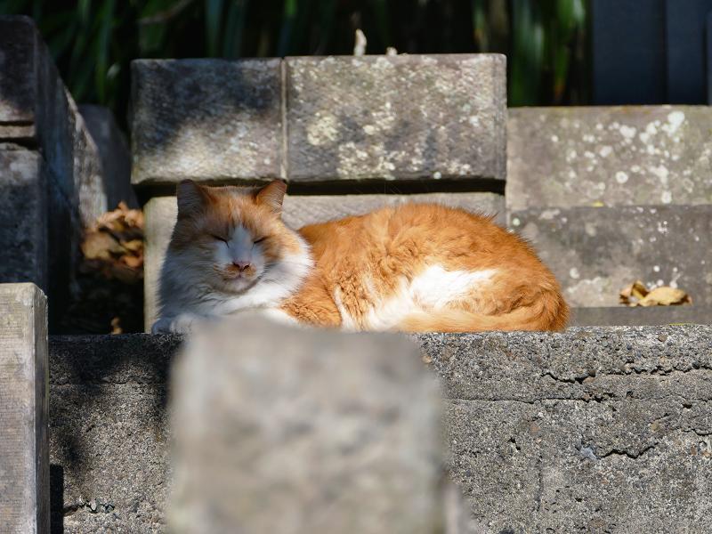 石段に戻った毛長の茶白猫
