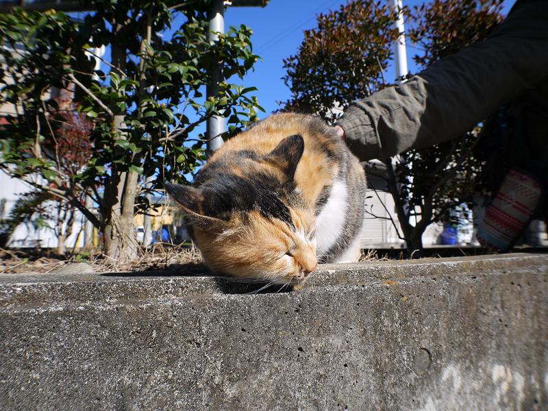 腰を触られる三毛猫2