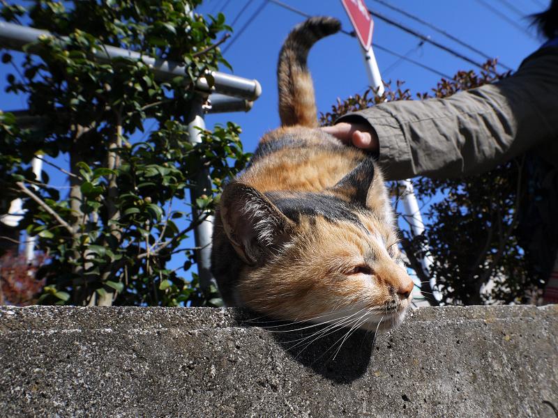 腰を触られる三毛猫3