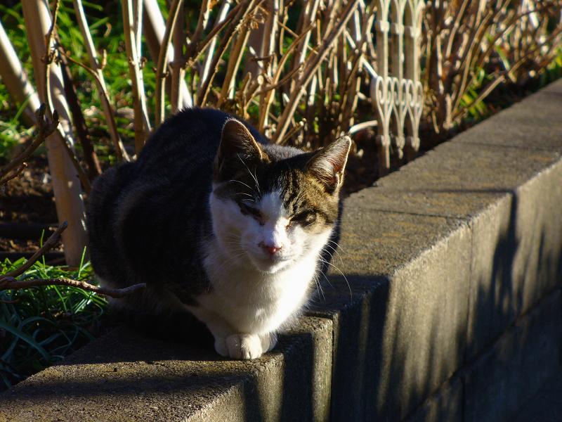 植込みの縁石から睨むキジ白猫1