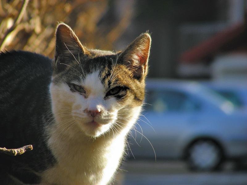 植込みの縁石から睨むキジ白猫2