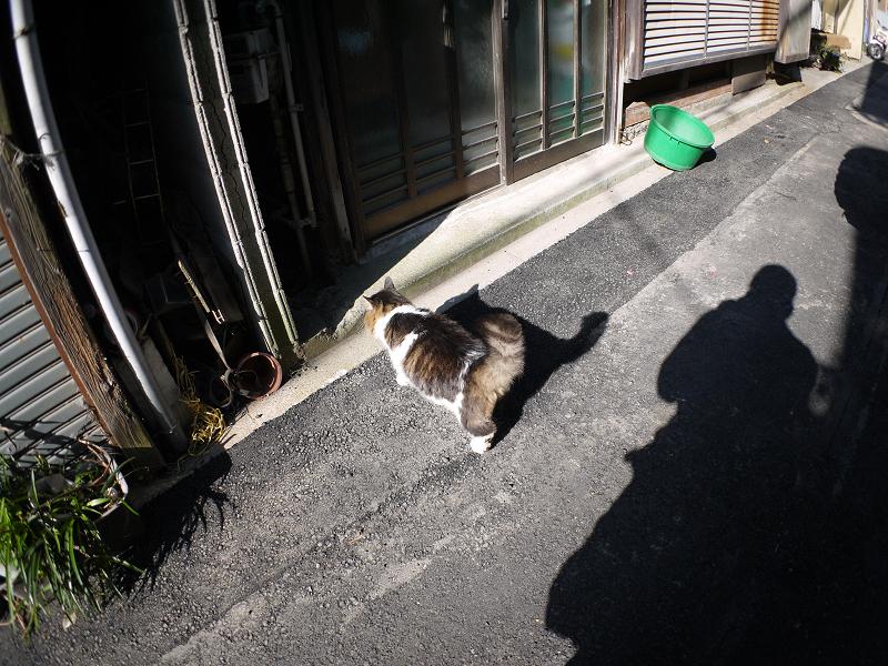 細い路地の毛長キジ白猫1