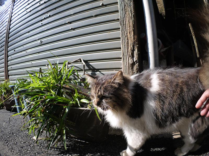 細い路地の毛長キジ白猫3