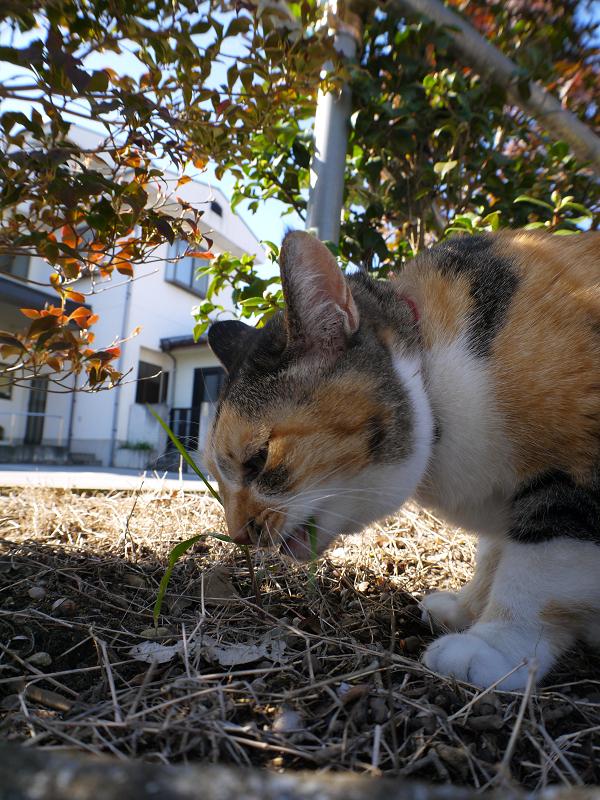 草を食べてる三毛猫1
