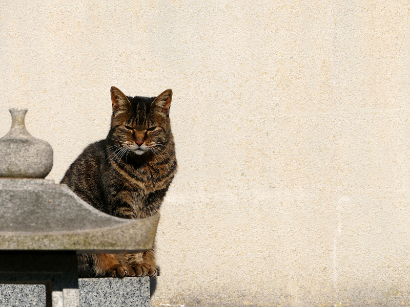 壁の前で睨んでいるキジトラ猫1