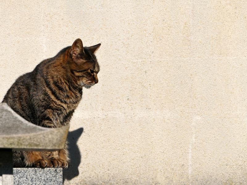 壁の前で睨んでいるキジトラ猫2