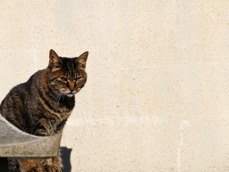 壁の前で睨んでいるキジトラ猫3
