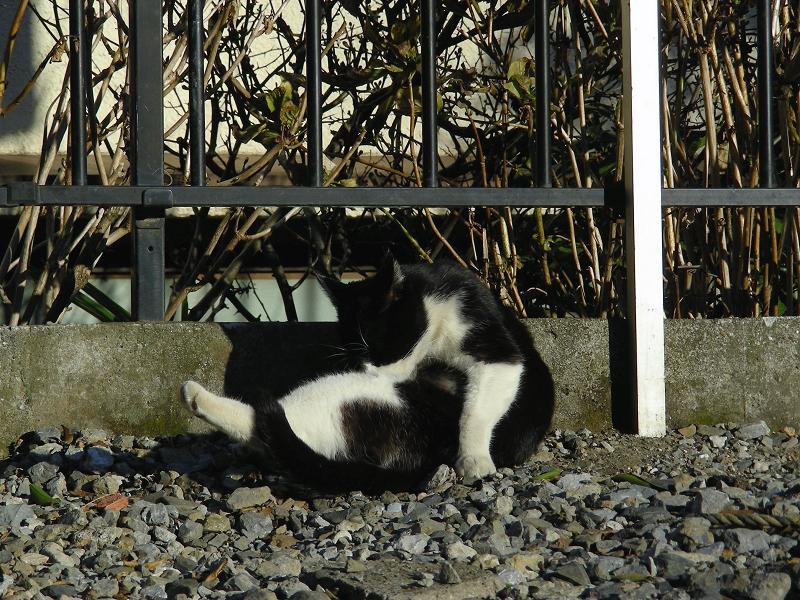 屈伸してる風の黒白猫1