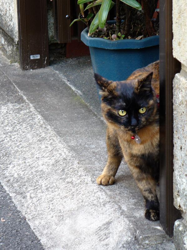玄関口から見てるサビ柄猫1