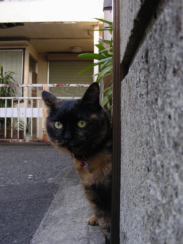 玄関口から見てるサビ柄猫2