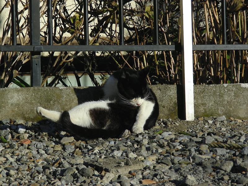 屈伸してる風の黒白猫2