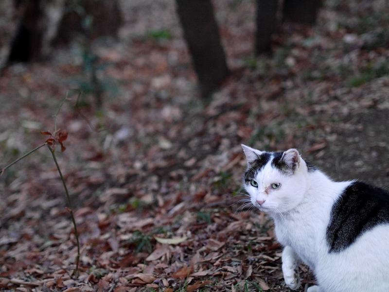 林の斜面の白キジ猫1