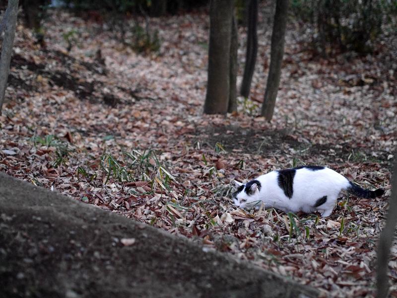 林の斜面の白キジ猫3