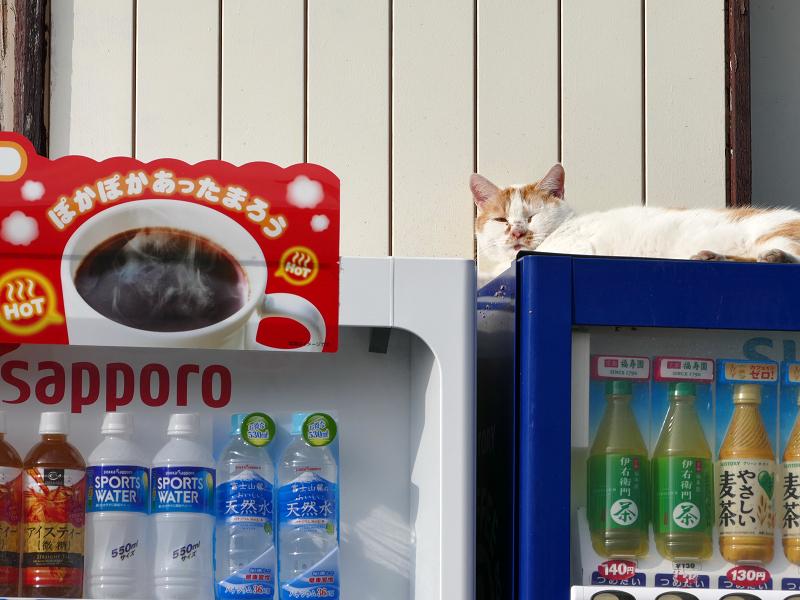 自販機の上で横になってる白茶猫1