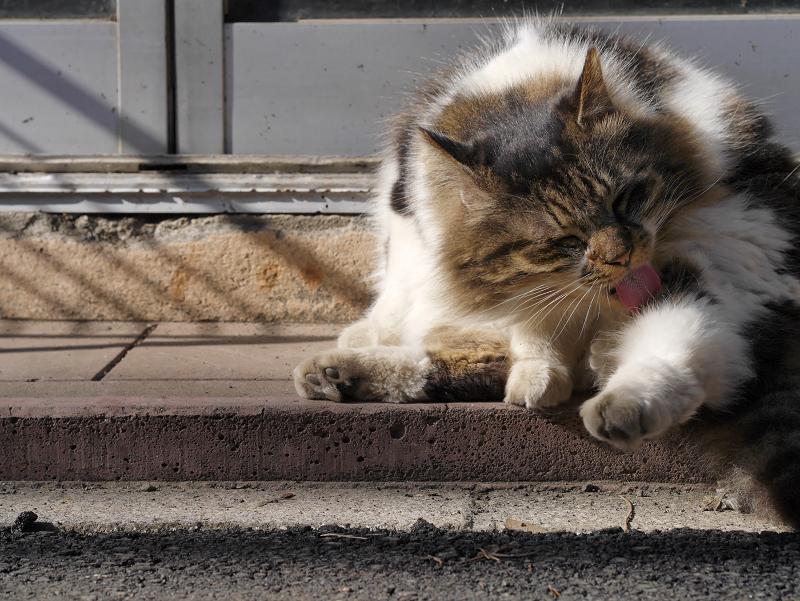 玄関先で毛繕い中の毛長キジ白猫