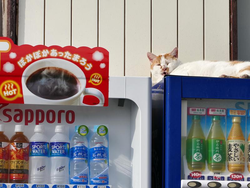 自販機の上で横になってる白茶猫2