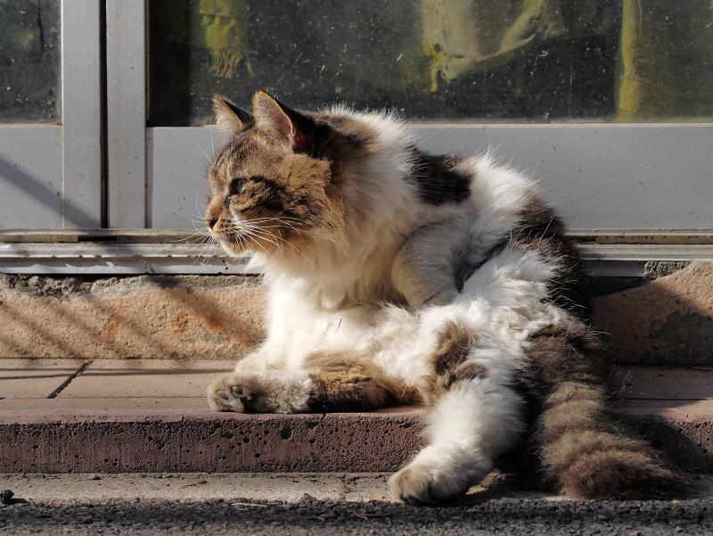 民家玄関先の毛長キジ白猫