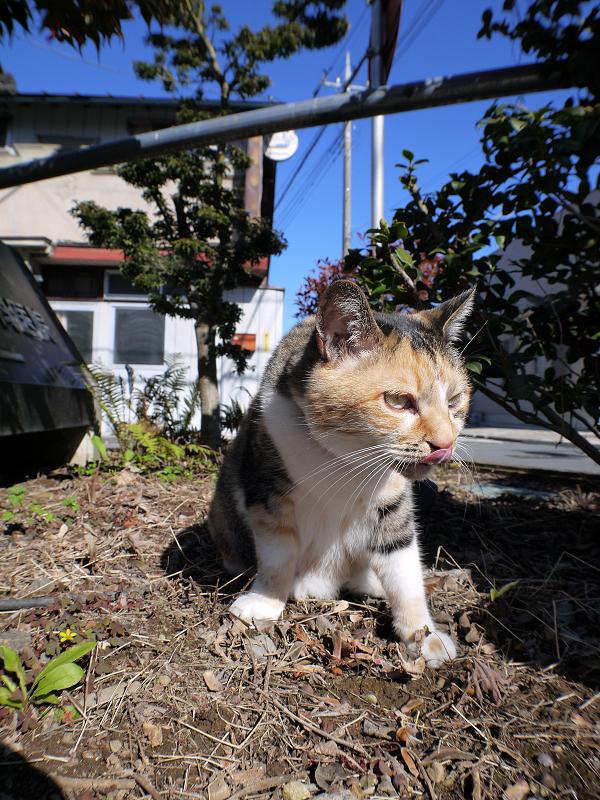 草を食べた三毛猫の視線1