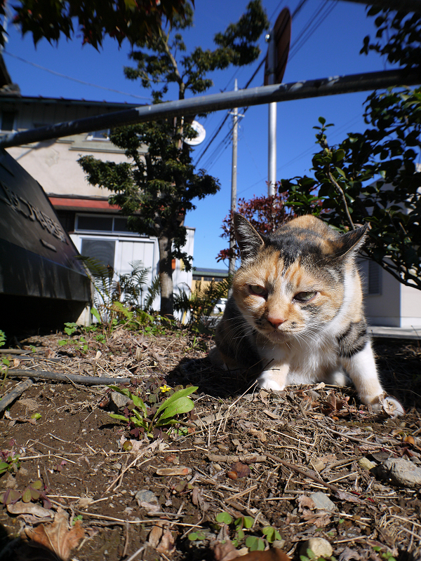 草を食べた三毛猫の視線2