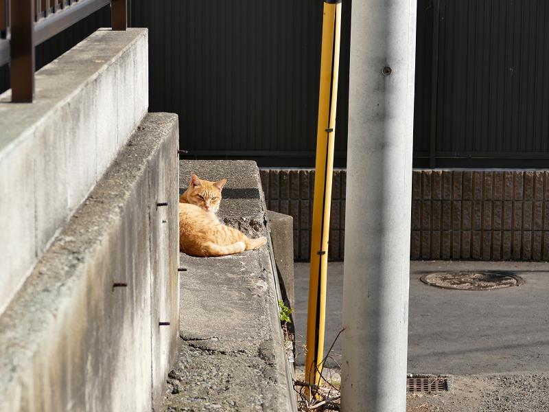 日当たり路地の茶トラ猫1