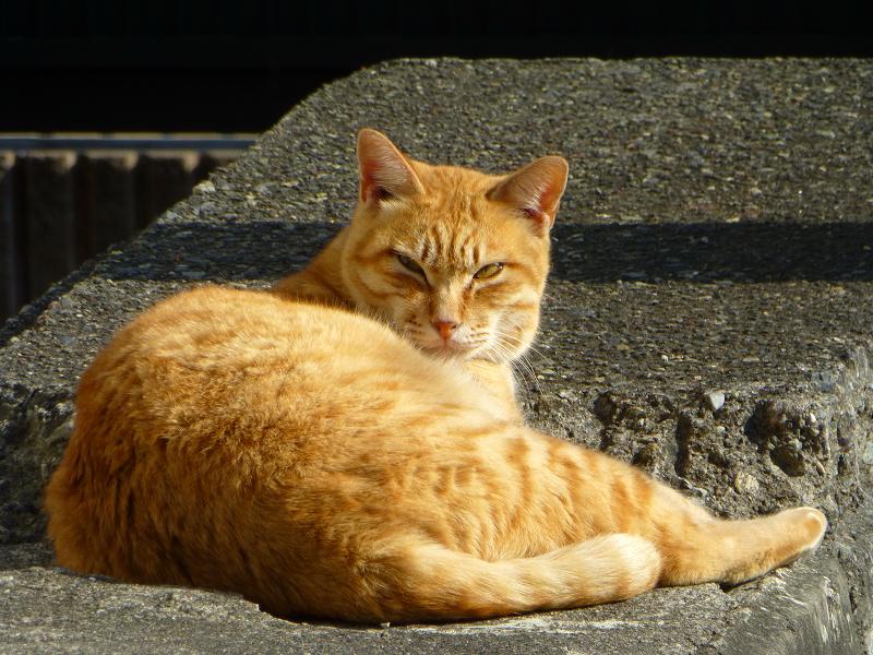 日当たり路地の茶トラ猫2