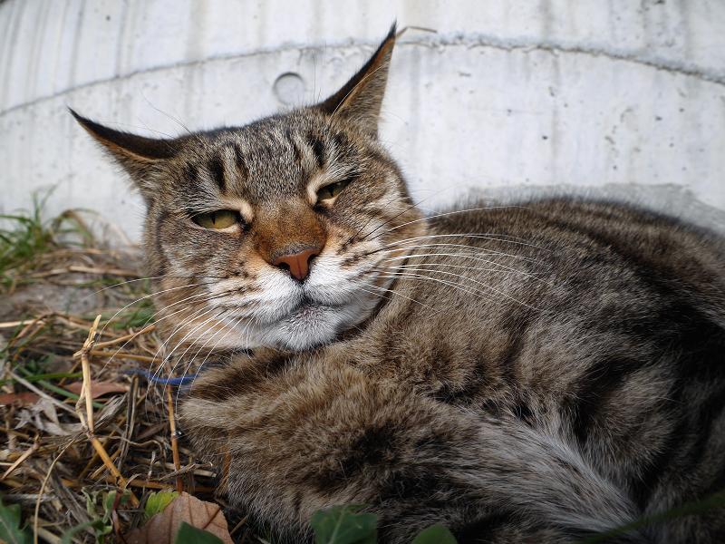 屋根から降りて休憩中のキジ白猫3
