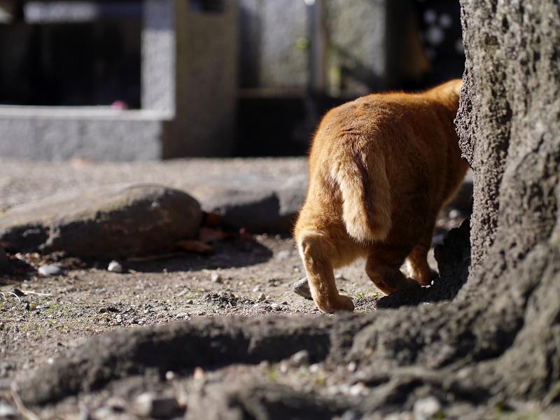 幹を回り込んでる茶トラ猫1
