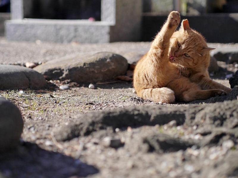 幹を回り込んでる茶トラ猫2
