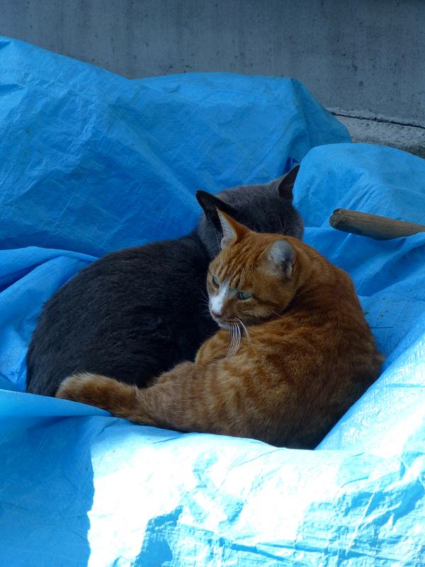 ブルーシートの猫たち1