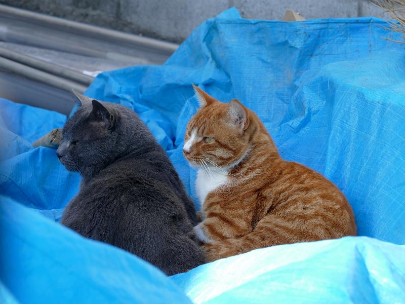 ブルーシートの猫たち2