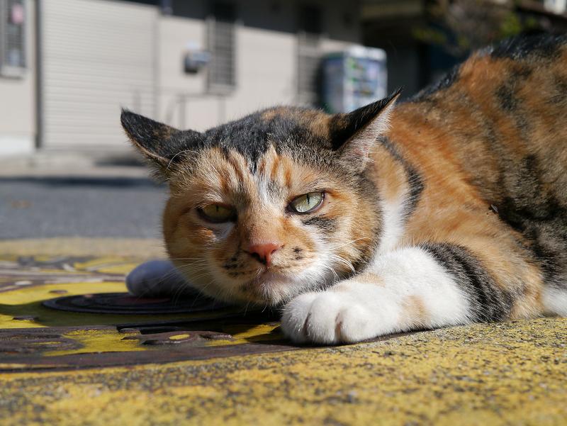 マンホール上の三毛猫1