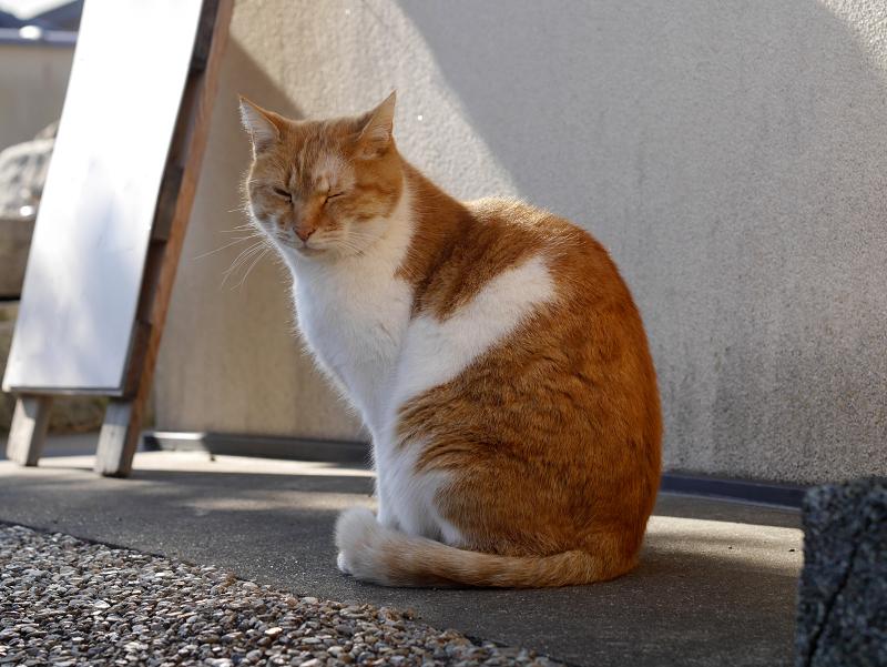 多分ボスの茶白猫1