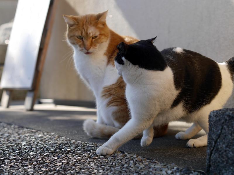 多分ボスの茶白猫2
