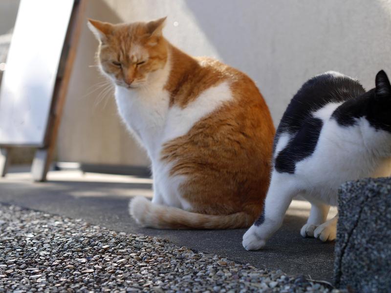 多分ボスの茶白猫3