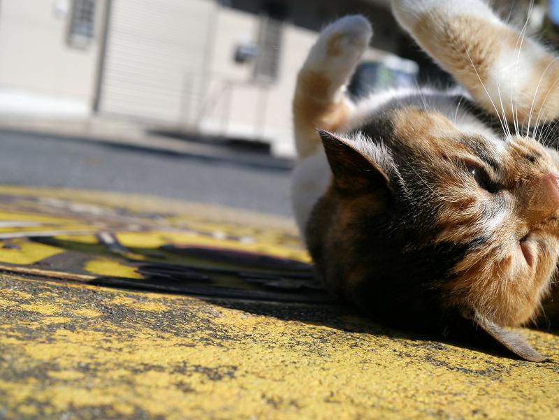 マンホール上の三毛猫4