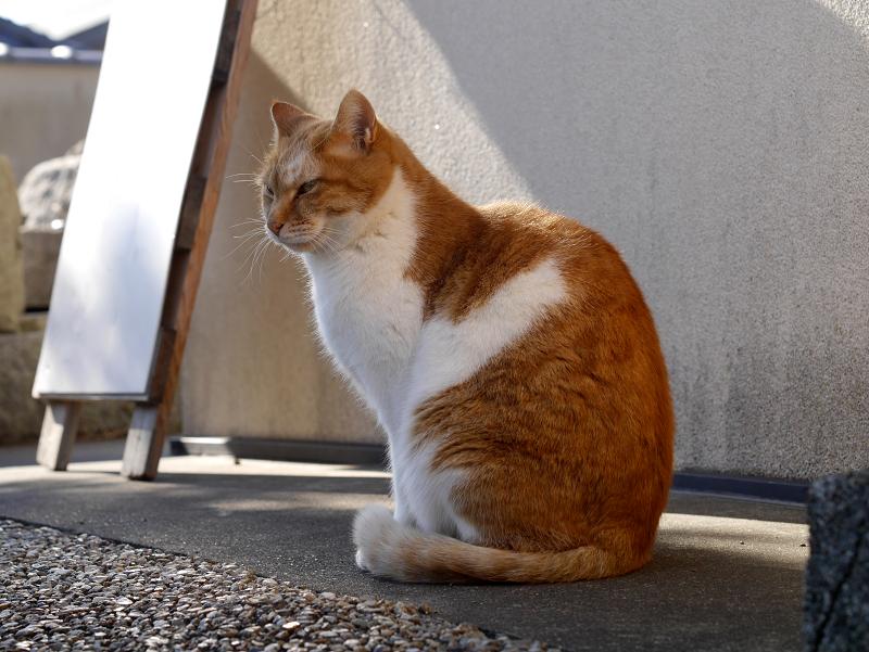 多分ボスの茶白猫4