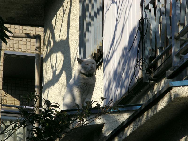 家に入る白猫1