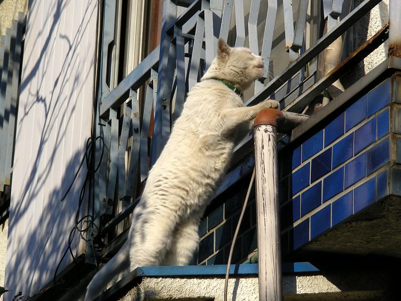 家に入る白猫2