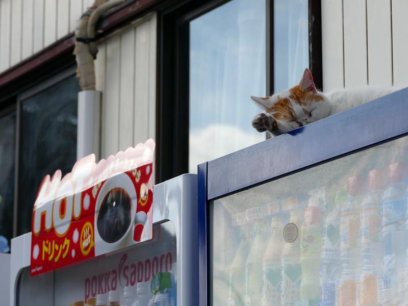 自販機の上で寝てる白茶猫