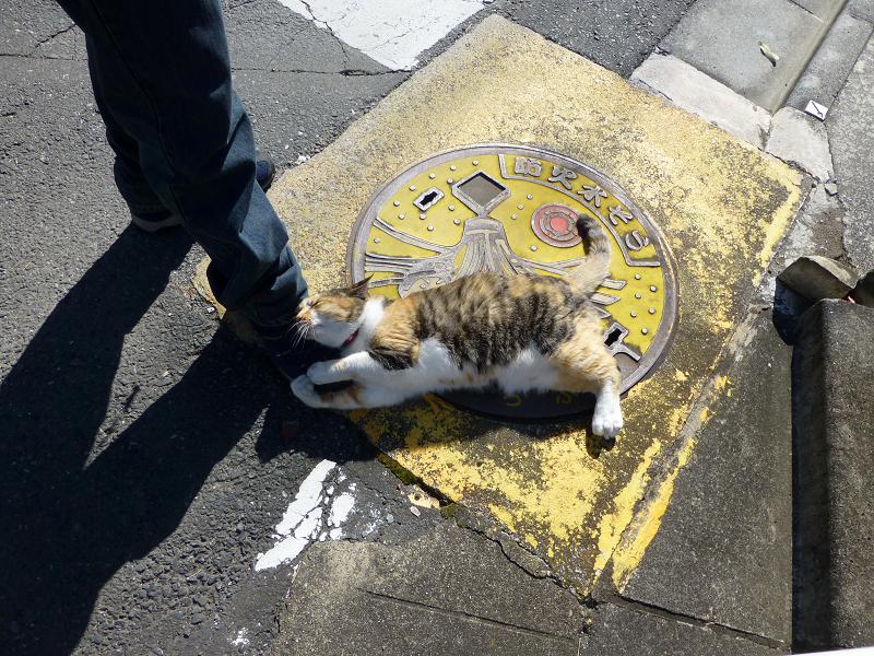 マンホール上で足にしがみつく三毛猫1