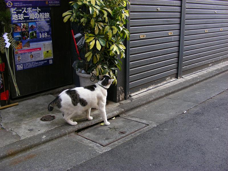 シャッター前の白キジ猫