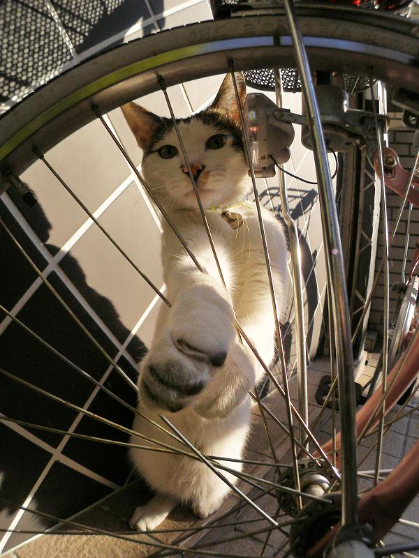 自転車と白キジ猫2
