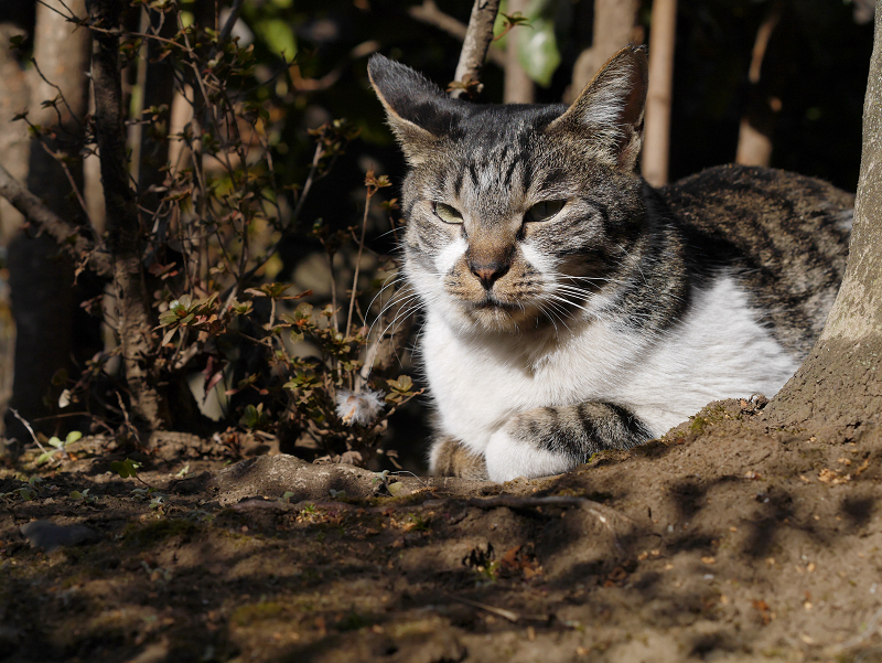 冬の陽射しと木漏れ日のキジ白猫1