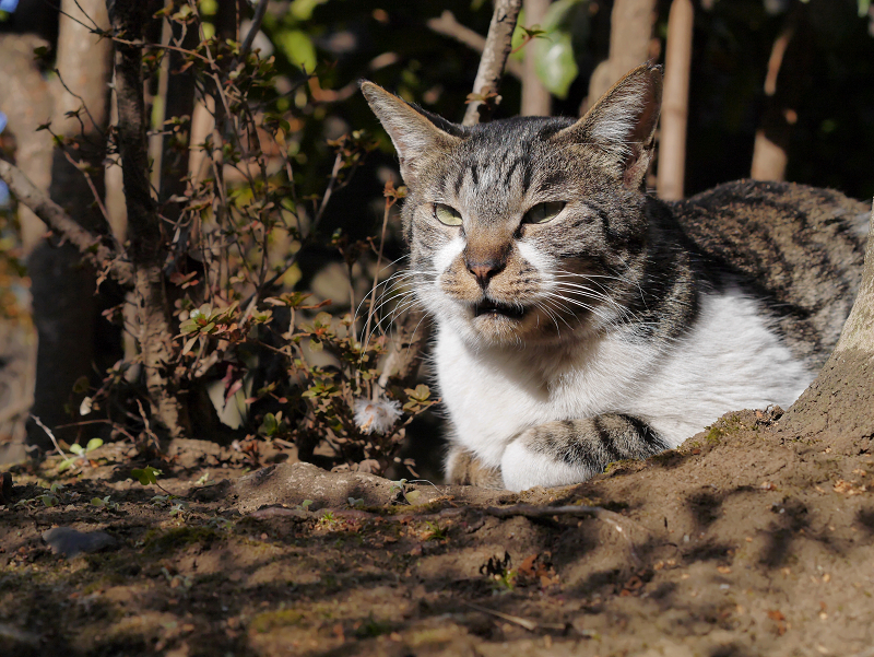 冬の陽射しと木漏れ日のキジ白猫2