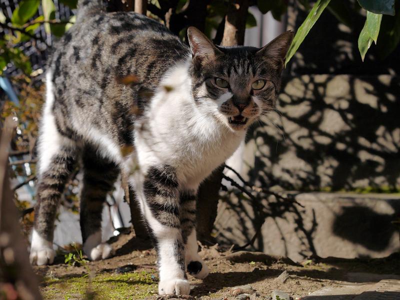 冬の陽射しと木漏れ日のキジ白猫3
